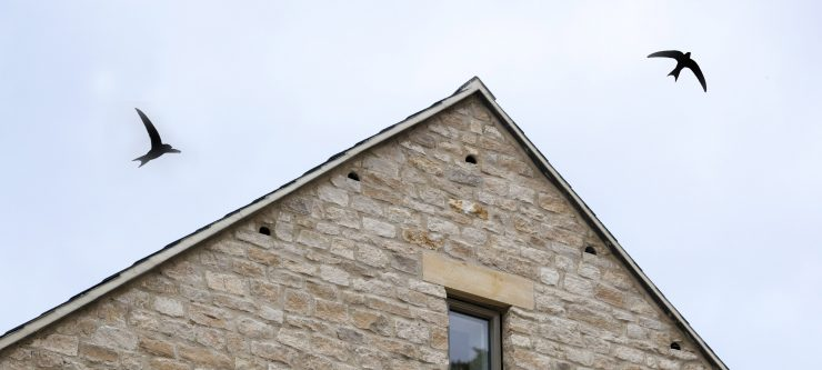 Swifts around nest holes in Charlbury, Oxfordshire