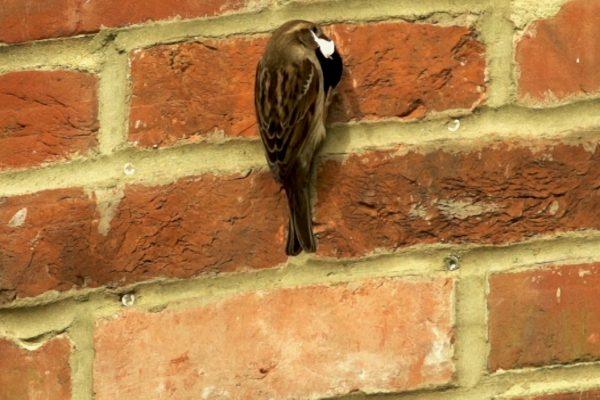 House Sparrow nest box