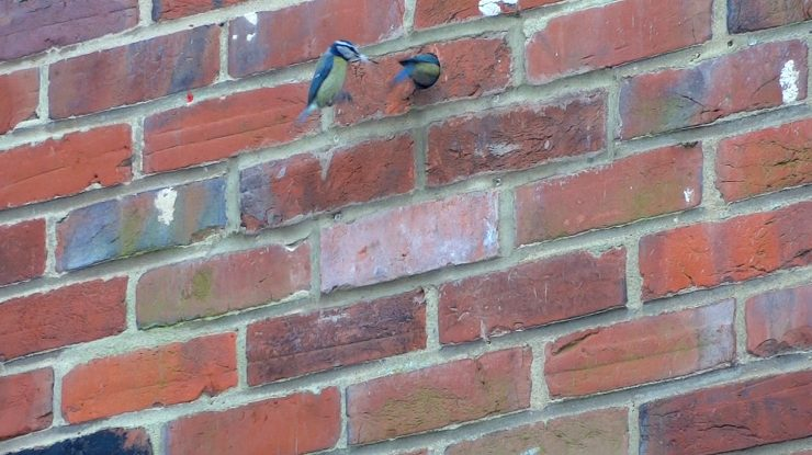 Pair of blue tits enter a retrospectively fitted standard bird box.