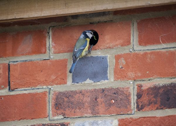 Photo of a blue tit feeding young in an integrated bird brick house