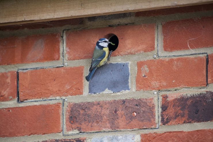 Blue tit using a Standard bird box; not fully mortared in, allowing box front to be removed for cleaning and monitoring